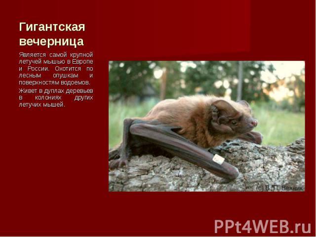 Является самой крупной летучей мышью в Европе и России. Охотится по лесным опушкам и поверхностям водоемов. Является самой крупной летучей мышью в Европе и России. Охотится по лесным опушкам и поверхностям водоемов. Живет в дуплах деревьев в колония…