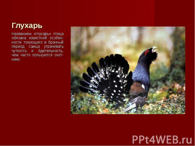 Названием «глухарь» птица обязана известной особен-ности токующего в брачный период самца утрачивать чуткость и бдительность, чем часто пользуются охот-ники. Названием «глухарь» птица обязана известной особен-ности токующего в брачный период самца у…