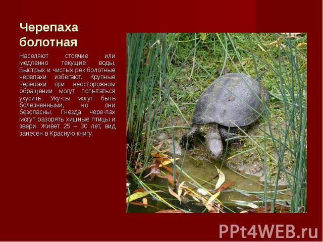 Населяют стоячие или медленно текущие воды. Быстрых и чистых рек болотные черепахи избегают. Крупные черепахи при неосторожном обращении могут попытаться укусить. Уку-сы могут быть болезненными, но они безопасны. Гнезда чере-пах могут разорять хищны…