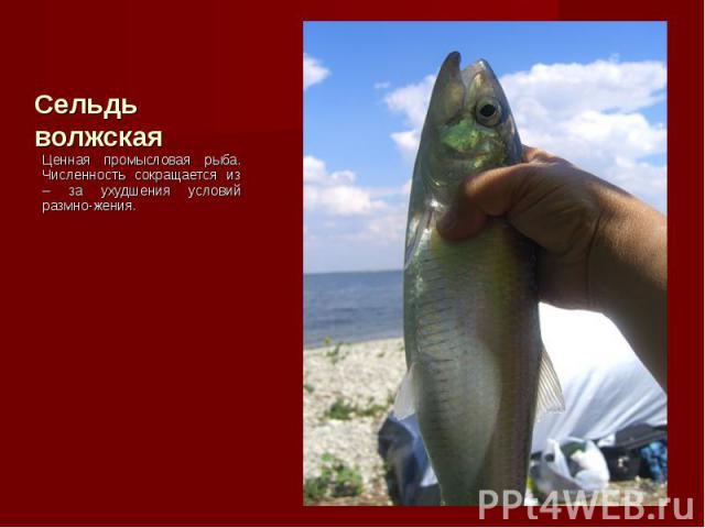 Ценная промысловая рыба. Численность сокращается из – за ухудшения условий размно-жения. Ценная промысловая рыба. Численность сокращается из – за ухудшения условий размно-жения.