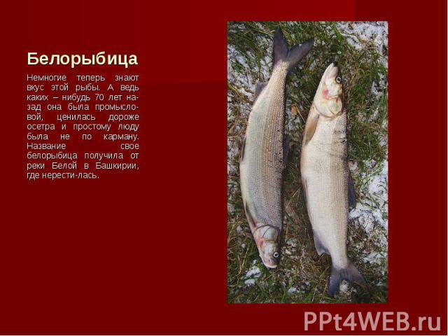 Немногие теперь знают вкус этой рыбы. А ведь каких – нибудь 70 лет на-зад она была промысло-вой, ценилась дороже осетра и простому люду была не по карману. Название свое белорыбица получила от реки Белой в Башкирии, где нерести-лась. Немногие теперь…