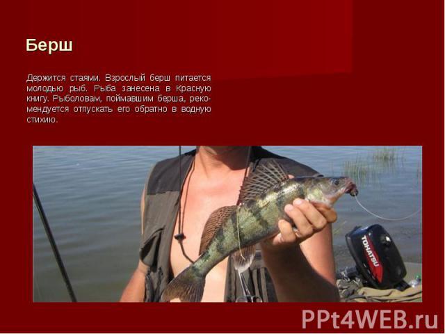 Держится стаями. Взрослый берш питается молодью рыб. Рыба занесена в Красную книгу. Рыболовам, поймавшим берша, реко-мендуется отпускать его обратно в водную стихию. Держится стаями. Взрослый берш питается молодью рыб. Рыба занесена в Красную книгу.…