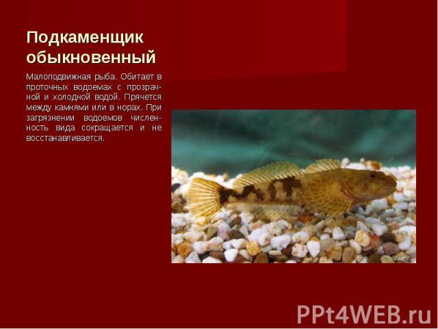 Малоподвижная рыба. Обитает в проточных водоемах с прозрач-ной и холодной водой. Прячется между камнями или в норах. При загрязнении водоемов числен-ность вида сокращается и не восстанавливается. Малоподвижная рыба. Обитает в проточных водоемах с пр…