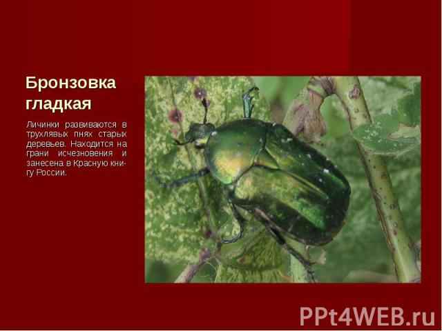 Личинки развиваются в трухлявых пнях старых деревьев. Находится на грани исчезновения и занесена в Красную кни-гу России. Личинки развиваются в трухлявых пнях старых деревьев. Находится на грани исчезновения и занесена в Красную кни-гу России.
