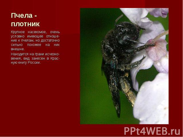 Крупное насекомое, очень условно имеющее отноше-ние к пчелам, но достаточно сильно похожее на них внешне. Крупное насекомое, очень условно имеющее отноше-ние к пчелам, но достаточно сильно похожее на них внешне. Находится на грани исчезно-вения, вид…