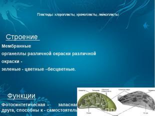 Пластиды: хлоропласты, хромопласты, лейкопласты Строение Мембранные органеллы ра