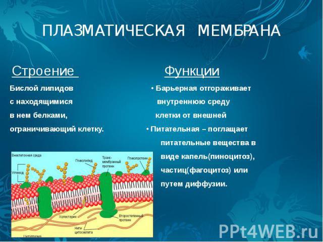 ПЛАЗМАТИЧЕСКАЯ МЕМБРАНА Строение Функции Бислой липидов • Барьерная отгораживает с находящимися внутреннюю среду в нем белками, клетки от внешней ограничивающий клетку. • Питательная – поглащает питательные вещества в виде капель(пиноцитоз), частиц(…