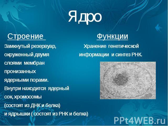 Ядро Строение Функции Замкнутый резервуар, Хранение генетической окруженный двумя информации и синтез РНК. слоями мембран пронизанных ядерными порами. Внутри находится ядерный сок, хромосомы (состоят из ДНК и белка) и ядрышки ( состоят из РНК и белка)