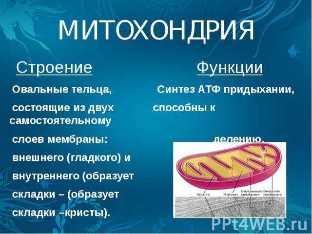 МИТОХОНДРИЯ Строение Функции Овальные тельца, Синтез АТФ придыхании, состоящие из двух способны к самостоятельному слоев мембраны: делению. внешнего (гладкого) и внутреннего (образует складки – (образует складки –кристы).