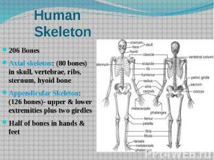 Human Skeleton 206 Bones Axial skeleton: (80 bones) in skull, vertebrae, ribs, s