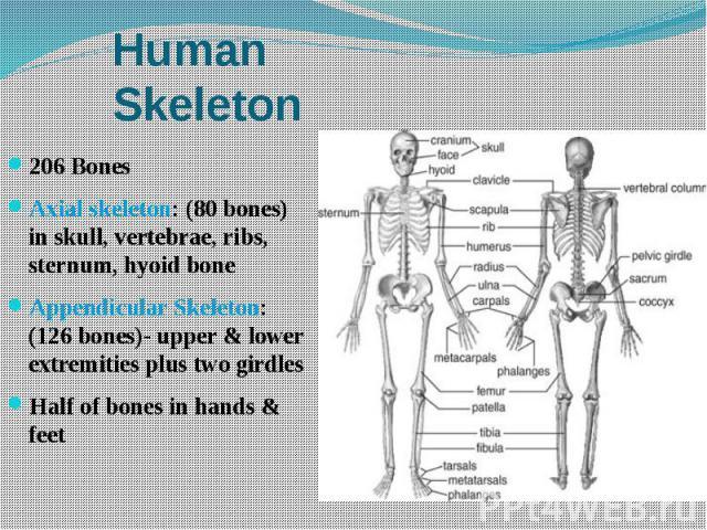 Human Skeleton 206 Bones Axial skeleton: (80 bones) in skull, vertebrae, ribs, sternum, hyoid bone Appendicular Skeleton: (126 bones)- upper & lower extremities plus two girdles Half of bones in hands & feet