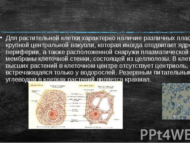 Для растительной клетки характерно наличие различных пластид, крупной центральной вакуоли, которая иногда отодвигает ядро к периферии, а также расположенной снаружи плазматической мембраны клеточной стенки, состоящей из целлюлозы. В клетках высших р…