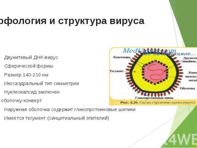 Двунитевый ДНК-вирус Двунитевый ДНК-вирус Сферической формы Размер 140-210 нм Икосаэдральный тип симметрии Нуклеокапсид заключен в оболочку-конверт Наружная оболочка содержит гликопротеиновые шипики Имеется тегумент (синцитиальный эпителий)