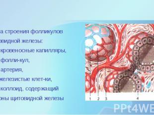 Схема строения фолликулов щитовидной железы: 1 – кровеносные капилля