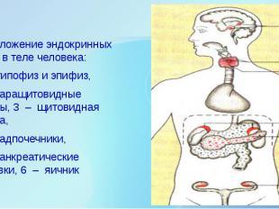 Расположение эндокринных желез в теле человека: Расположение эндокринных желез в