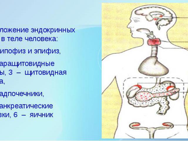Расположение эндокринных желез в теле человека: Расположение эндокринных желез в теле человека: 1 – гипофиз и эпифиз, 2 – паращитовидные железы, 3 – щитовидная железа, 4 – надпочечники, 5 –…