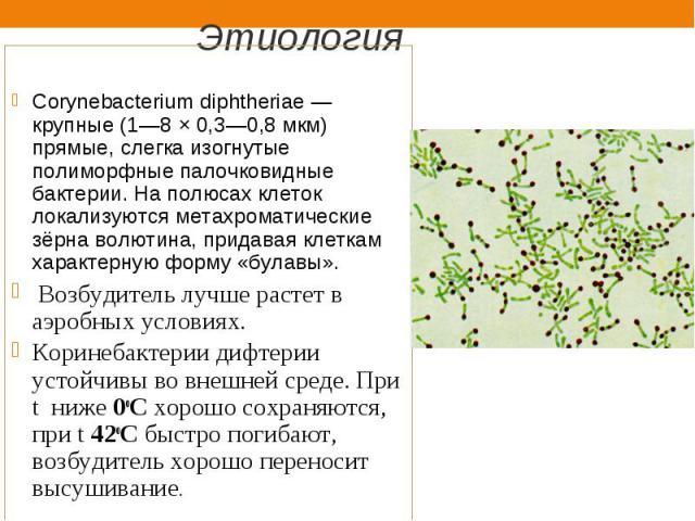 Corynebacterium diphtheriae— крупные (1—8 × 0,3—0,8 мкм) прямые, слегка изогнутые полиморфные палочковидные бактерии. На полюсах клеток локализуются метахроматические зёрна волютина, придавая клеткам характерную форму «булавы». Возбудитель луч…