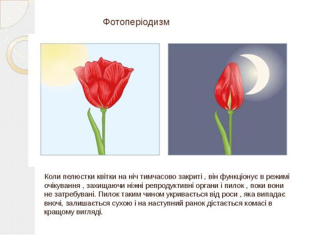 Фотоперіодизм Коли пелюстки квітки на ніч тимчасово закриті , він функціонує в режимі очікування , захищаючи ніжні репродуктивні органи і пилок , поки вони не затребувані. Пилок таким чином укривається від роси , яка випадає вночі, залишається сухою…
