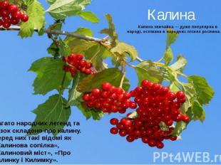 Калина Калина звичайна — дуже популярна в народі, оспівана в народних піснях рос