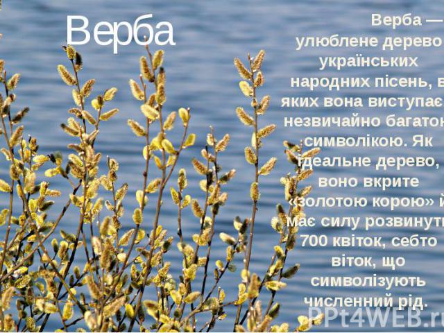 Верба Верба — улюблене дерево українських народних пісень, в яких вона виступає з незвичайно багатою символікою. Як ідеальне дерево, воно вкрите «золотою корою» й має силу розвинути 700 квіток, себто віток, що символізують численний рід.