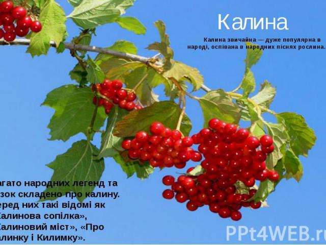 Калина Калина звичайна — дуже популярна в народі, оспівана в народних піснях рослина.
