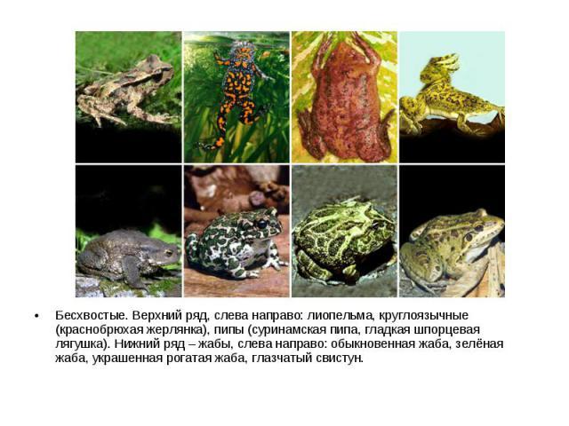 Бесхвостые. Верхний ряд, слева направо: лиопельма, круглоязычные (краснобрюхая жерлянка), пипы (суринамская пипа, гладкая шпорцевая лягушка). Нижний ряд – жабы, слева направо: обыкновенная жаба, зелёная жаба, украшенная рогатая жаба, глазчатый свистун.
