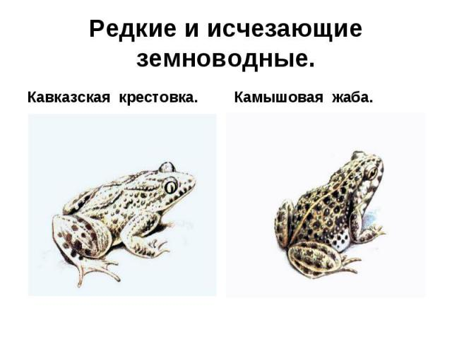 Кавказская крестовка. Кавказская крестовка.