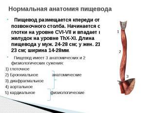 Нормальная анатомия пищевода Пищевод размещается кпереди от позвоночного столба.