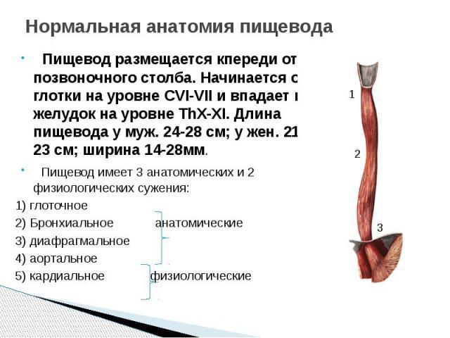 Нормальная анатомия пищевода Пищевод размещается кпереди от позвоночного столба. Начинается от глотки на уровне CVI-VII и впадает в желудок на уровне ThX-XI. Длина пищевода у муж. 24-28 см; у жен. 21-23 см; ширина 14-28мм. Пищевод имеет 3 анатомичес…