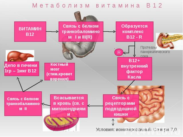 Метаболизм витамина В12