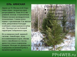 ЕЛЬ АЯНСКАЯ Дерево до 35-40м высотой. Кора темно-серая, с возрастом снизу растре