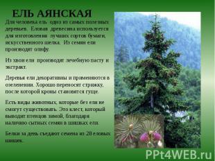 Для человека ель одно из самых полезных деревьев. Еловая древесина используется