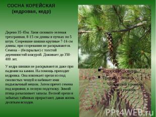 СОСНА КОРЕЙСКАЯ (кедровая, кедр) Дерево 35-45м. Хвоя сизовато-зеленая трехгранна