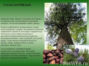 СОСНА КОРЕЙСКАЯ Древесина кедра обладает хорошими качествами и используется как