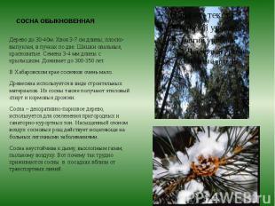 СОСНА ОБЫКНОВЕННАЯ Дерево до 30-40м. Хвоя 3-7 см длины, плоско-выпуклая, в пучка