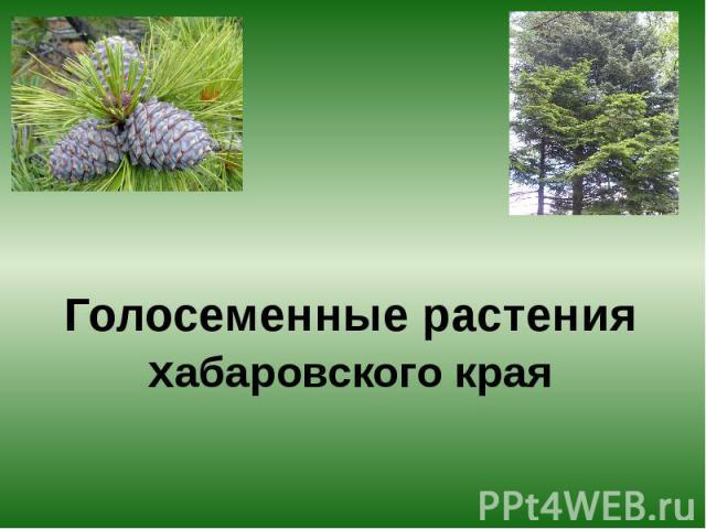 Голосеменные растения хабаровского края