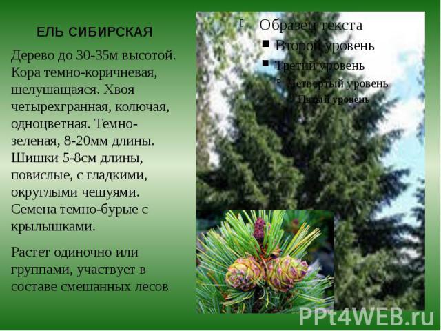 ЕЛЬ СИБИРСКАЯ Дерево до 30-35м высотой. Кора темно-коричневая, шелушащаяся. Хвоя четырехгранная, колючая, одноцветная. Темно-зеленая, 8-20мм длины. Шишки 5-8см длины, повислые, с гладкими, округлыми чешуями. Семена темно-бурые с крылышками. Растет о…