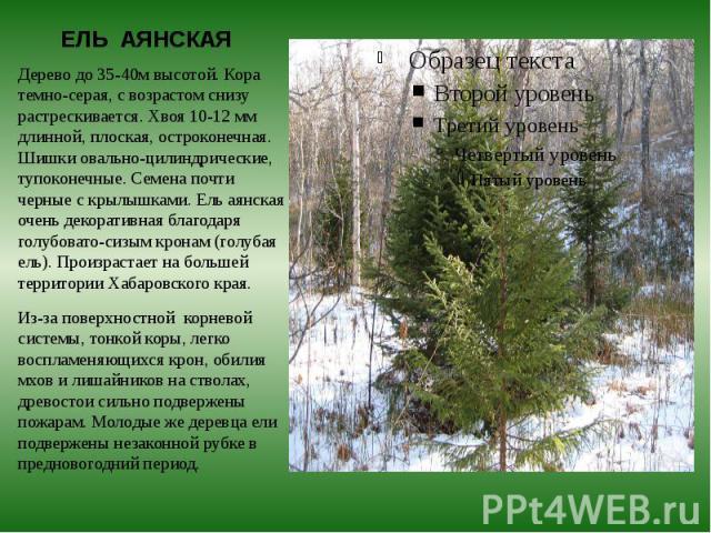 ЕЛЬ АЯНСКАЯ Дерево до 35-40м высотой. Кора темно-серая, с возрастом снизу растрескивается. Хвоя 10-12 мм длинной, плоская, остроконечная. Шишки овально-цилиндрические, тупоконечные. Семена почти черные с крылышками. Ель аянская очень декоративная бл…