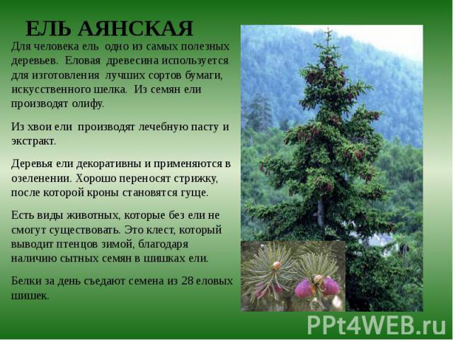 Для человека ель одно из самых полезных деревьев. Еловая древесина используется для изготовления лучших сортов бумаги, искусственного шелка. Из семян ели производят олифу. Для человека ель одно из самых полезных деревьев. Еловая древесина использует…