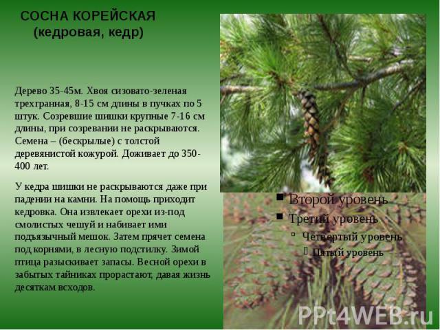 СОСНА КОРЕЙСКАЯ (кедровая, кедр) Дерево 35-45м. Хвоя сизовато-зеленая трехгранная, 8-15 см длины в пучках по 5 штук. Созревшие шишки крупные 7-16 см длины, при созревании не раскрываются. Семена – (бескрылые) с толстой деревянистой кожурой. Доживает…