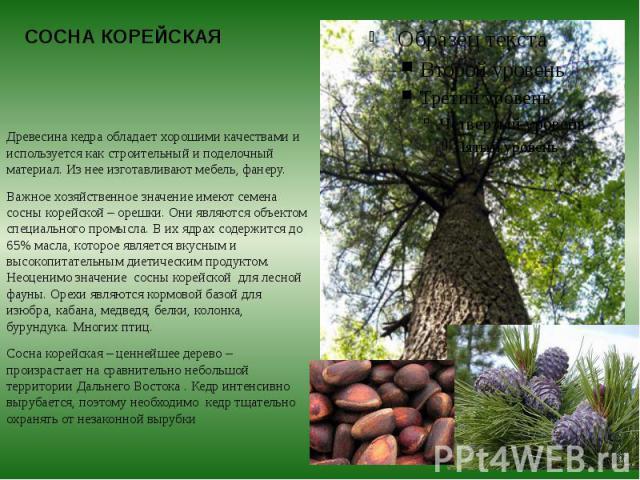 СОСНА КОРЕЙСКАЯ Древесина кедра обладает хорошими качествами и используется как строительный и поделочный материал. Из нее изготавливают мебель, фанеру. Важное хозяйственное значение имеют семена сосны корейской – орешки. Они являются объектом специ…