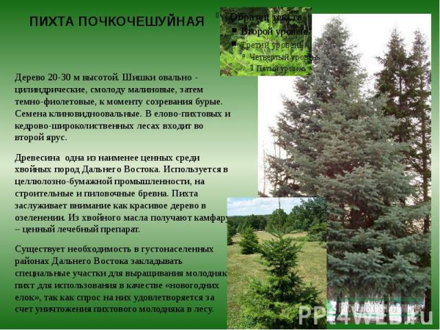 ПИХТА ПОЧКОЧЕШУЙНАЯ Дерево 20-30 м высотой. Шишки овально - цилиндрические, смолоду малиновые, затем темно-фиолетовые, к моменту созревания бурые. Семена клиновидноовальные. В елово-пихтовых и кедрово-широколиственных лесах входит во второй ярус. Др…