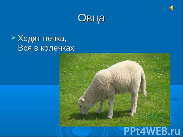 ОвцаХодит печка,Вся в колечках