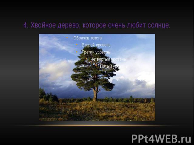 4. Хвойное дерево, которое очень любит солнце.