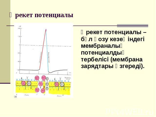 Әрекет потенциалы – бұл қозу кезеңіндегі мембраналық потенциалдың тербелісі (мембрана зарядтары өзгереді). Әрекет потенциалы – бұл қозу кезеңіндегі мембраналық потенциалдың тербелісі (мембрана зарядтары өзгереді).