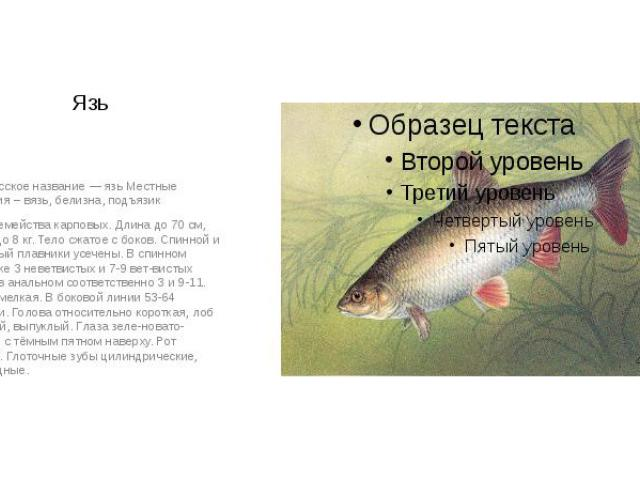Язь Белорусское название — язь Местные названия – вязь, белизна, подъязик Рыба семейства карповых. Длина до 70 см, масса до 8 кг. Тело сжатое с боков. Спинной и анальный плавники усечены. В спинном плавнике 3 неветвистых и 7-9 ветвистых лучей, …