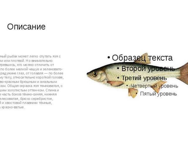 Описание Неопытный рыбак может легко спутать язя с голавлем или плотвой. Но внимательно присмотревшись, его можно отличить от плотвы по более мелкой чешуе и зеленовато-жёлтой радужине глаз, от голавля — по более высокому телу, относительно короткой …