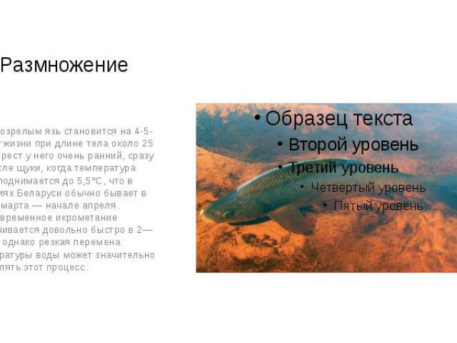 Размножение Половозрелым язь становится на 4-5-м году жизни при длине тела около 25 см. Нерест у него очень ранний, сразу же после щуки, когда температура воды поднимается до 5,5°С, что в условиях Беларуси обычно бывает в конце марта — начале апреля…