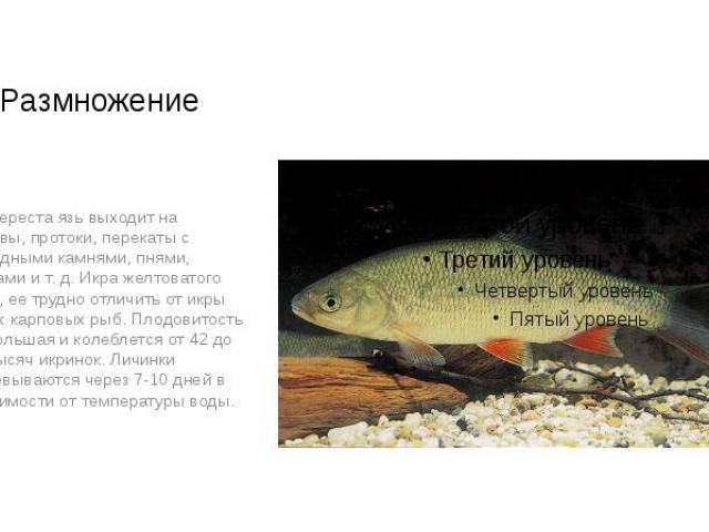 Размножение Для нереста язь выходит на разливы, протоки, перекаты с подводными камнями, пнями, корягами и т. д. Икра желтоватого цвета, ее трудно отличить от икры других карповых рыб. Плодовитость язя большая и колеблется от 42 до 150 тысяч икринок.…