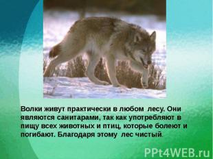 Волки живут практически в любом лесу. Они являются санитарами, так как употребля